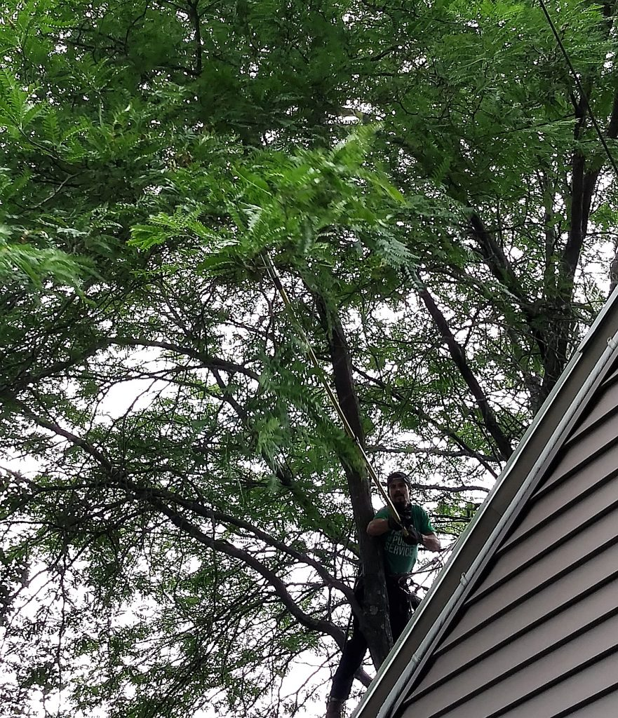 christian pruning ailanthus